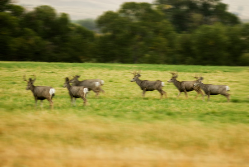 A herd of deer race down a meadow - motion blur - panning - shot horizontally - Stock Image by Nature and Wildlife Photographer Christina Craft