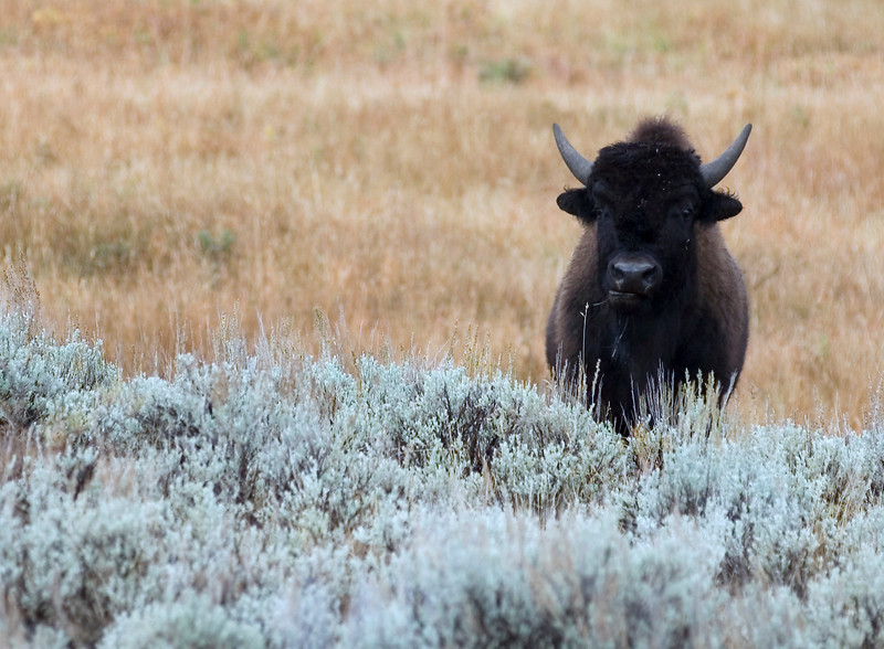 Bison - Yellowstone 2