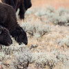 Bison grazing - herd of american buffalo - bison calf