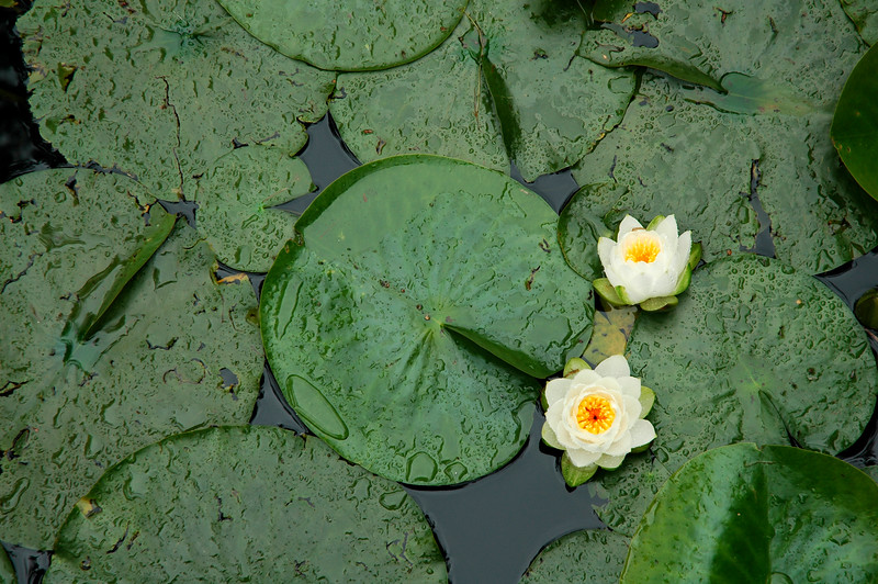 Lilly pad<br /> Professional Nature Photography by Christina Craft of the Nature Stock Photography Library