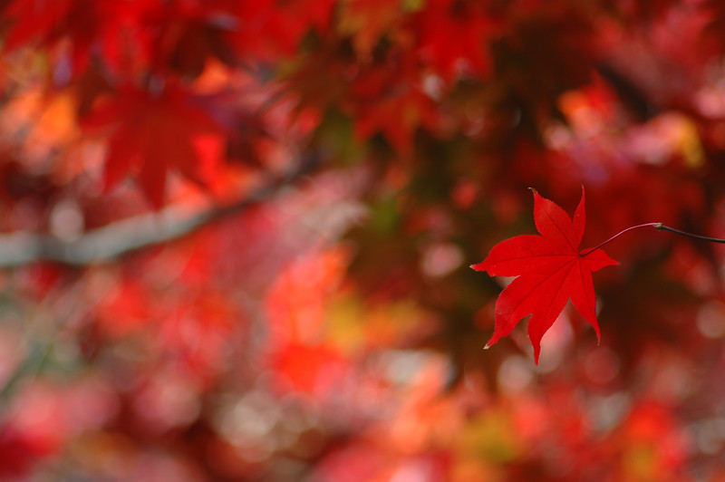 Japanese Maple (Acer palmatum) (Japanese: ?, Momiji) is a species of maple native to Japan, Korea, Taiwan and eastern China.