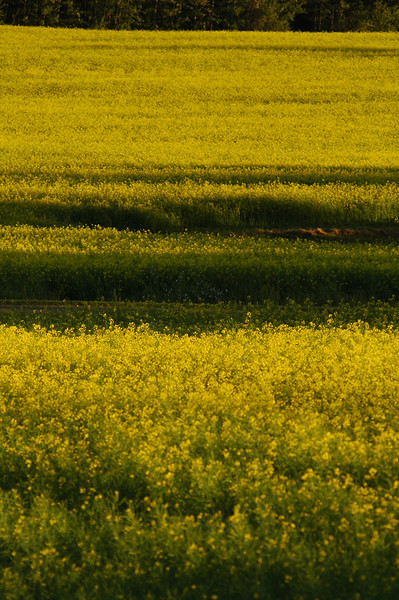 Mustard fields - Stock Photo by Nature Photographer Christina Craft