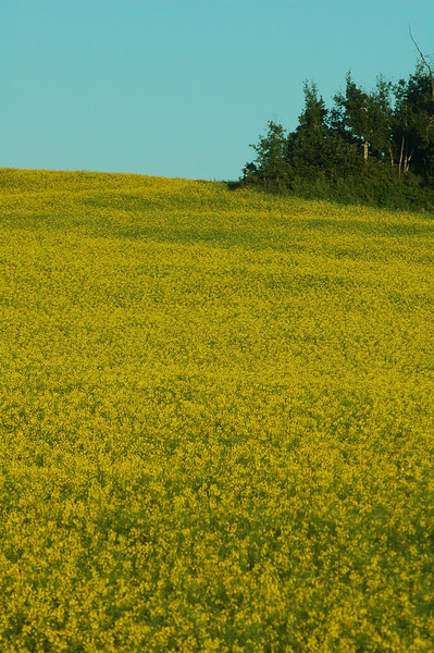 Mustard fields - rural farmlife - Stock Photo by Nature Photographer Christina Craft