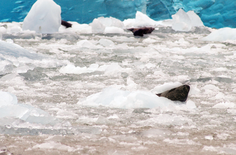 Harbour seal sitting on an iceberg