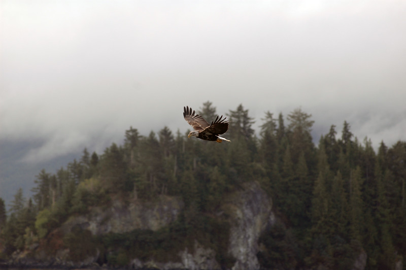 Juvenile Bald Eagle - Nature Stock Photography by Professional Nature Photographer Christina Craft