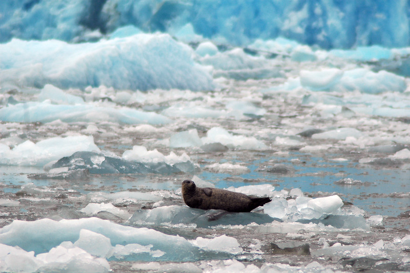 Harbour seal - Remote landscapes
