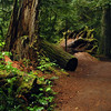 Oldgrowth ancient rainforest path - fallen trees, Stock Photo by Nature Photographer Christina Craft