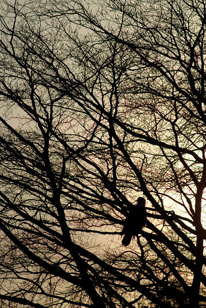 The majestic bald eagle silhouetted by the sunset in a tree - shot vertically
