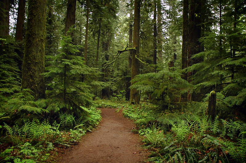 Old growth rainforest - redwoods & cedars- Stock Photo by Nature Photographer Christina Craft