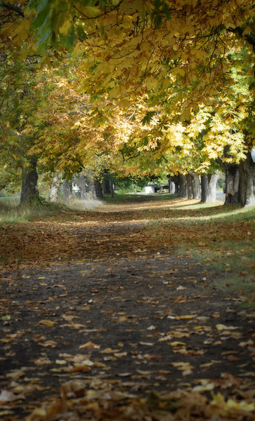 Trees lining a path - autumn in the woods