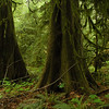 Old growth rainforest - ancient redwoods and cedar trees covered in green moss and lots of ferns Stock Photo by Nature Photographer Christina Craft