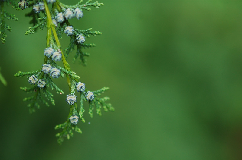 Cedar details - green - Nature Stock Image by Professional Nature Photographer Christina Craft - good image for a Christmas advertising campaign