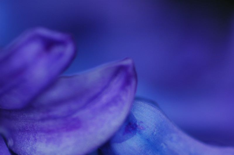 Purple / Blue Hyacinth Bulb flowers<br /> Professional Nature Photography by Christina Craft of the Nature Stock Photography Library