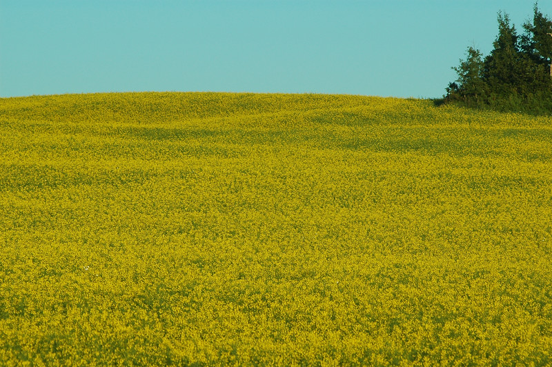 mustard field - agriculture - Stock Photo by Nature Photographer Christina Craft