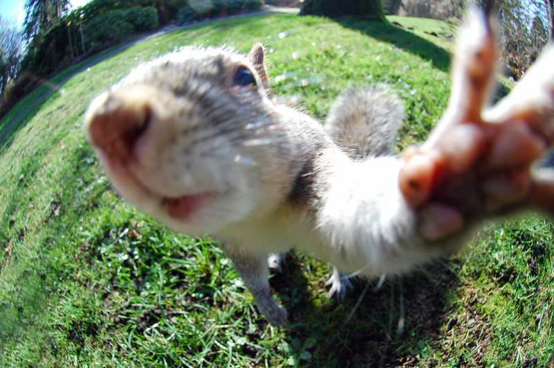 This was a once-in-a-lifetime encounter that I wish I could repeat. Alas, I'm left with just the hilarous memories. <br /> <br /> I was walking through a park, taking photos of some flowers with my fisheye when this squirrel ran up to my camera (hoping for some peanuts, I'm sure). I bent down to say hello and started snapping his picture. He became so curious looking into the lens (and seeing the opening and closing of the aperture/shutter) that he put his little paw on the lens and peered inside. Truly hilarious!