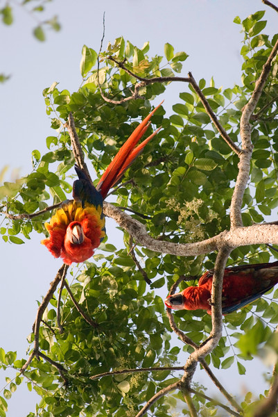 The size of the lens meant I could easily pack it on jungle safari trips. This image of wild scarlet macaws was taken at Playa San Josecito Beach (near Corcovado National Park) in Costa Rica.