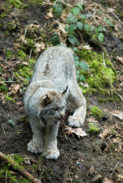 Linx<br /> Wildlife photography - Pictures of Animals - by professional wildlife photographer Christina Craft