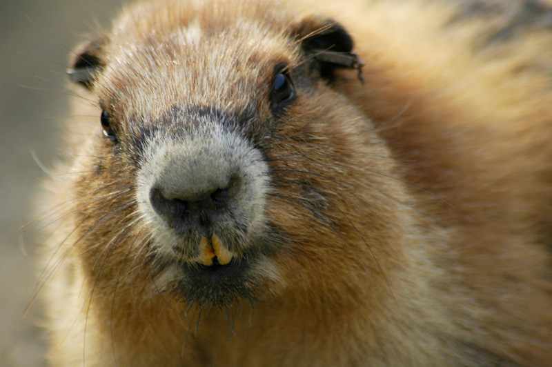 Olympic Mountain Marmot - Olympic National Park <br /> Professional Nature Photography by Christina Craft of the Nature Stock Photography Library