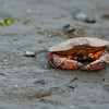 A red / orange crab at Low Tide - Stock Photo by Nature Photographer Christina Craft