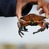 Holding a live crab - Stock Photo by Nature Photographer Christina Craft