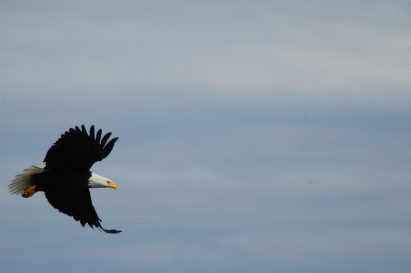 A bald eagle in flight - Stock Photo by Nature Photographer Christina Craft