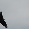 Bald eagle in flight -Stock Photo by Nature Photographer Christina Craft
