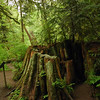 a large ancient old growth tree stump - green - Stock Photo by Nature Photographer Christina Craft