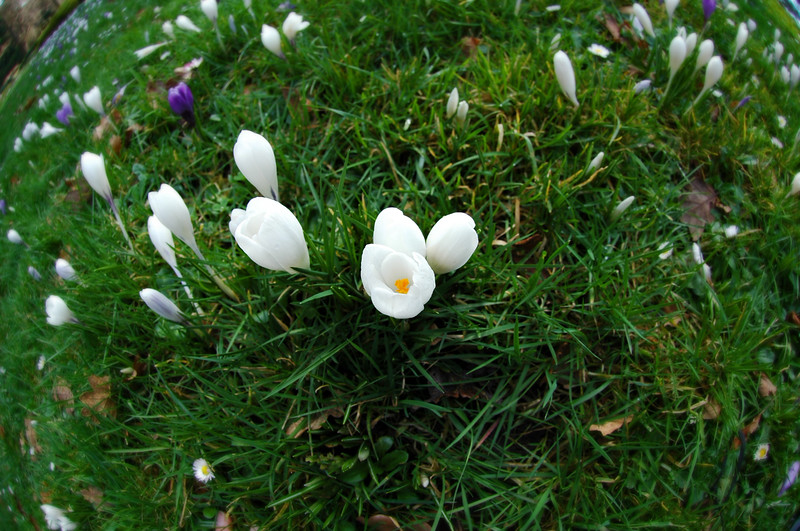 Crocus flowers in spring taken with a fisheye lens<br /> <br /> Professional Nature Photography by Christina Craft of the Nature Stock Photography Library