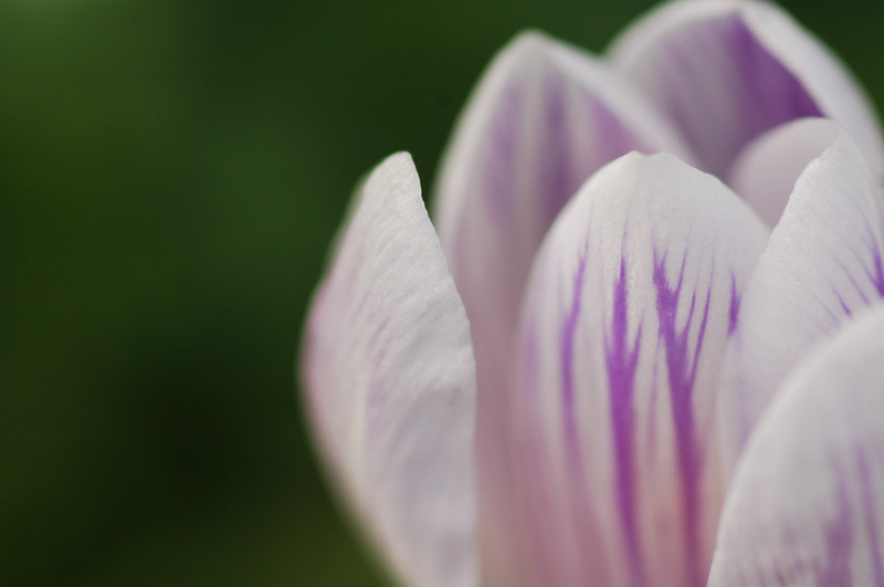 Crocus flowers in spring - closeup macro photography<br /> <br /> Professional Nature Photography by Christina Craft of the Nature Stock Photography Library