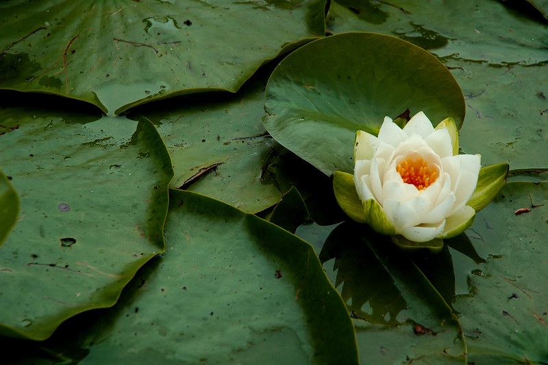 Lily pad<br /> <br /> Professional Nature Photography by Christina Craft of the Nature Stock Photography Library
