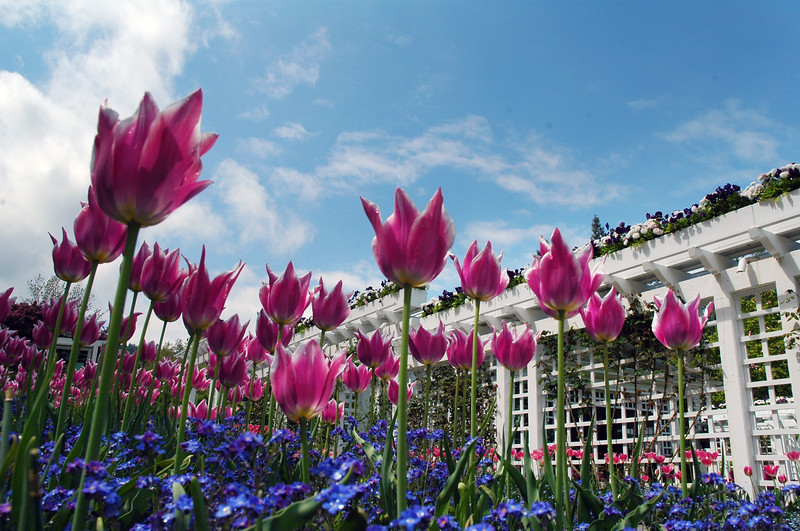 Tulips in a flower garden - Nature Stock Image by Professional Nature Photographer Christina Craft