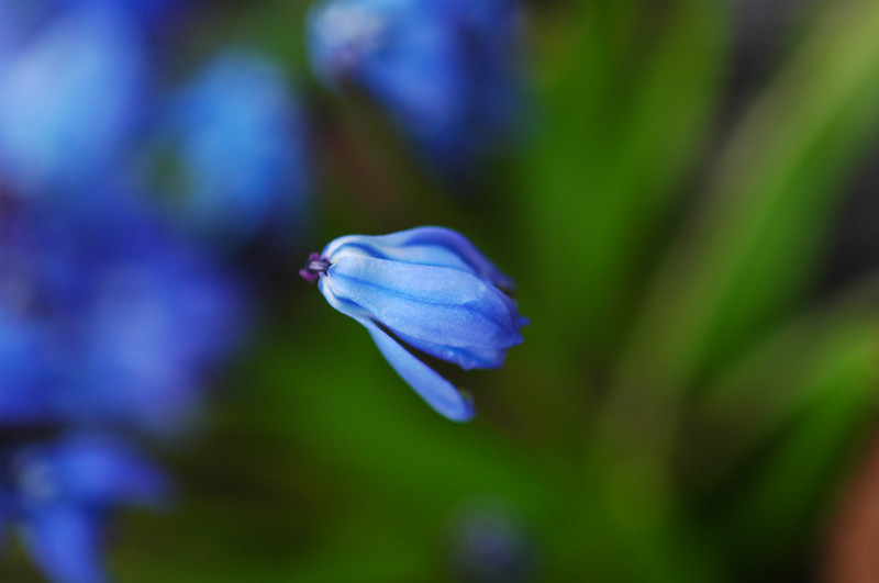 Hyacinth - Hyacinthus orientalis<br /> <br /> Professional Nature Photography by Christina Craft of the Nature Stock Photography Library