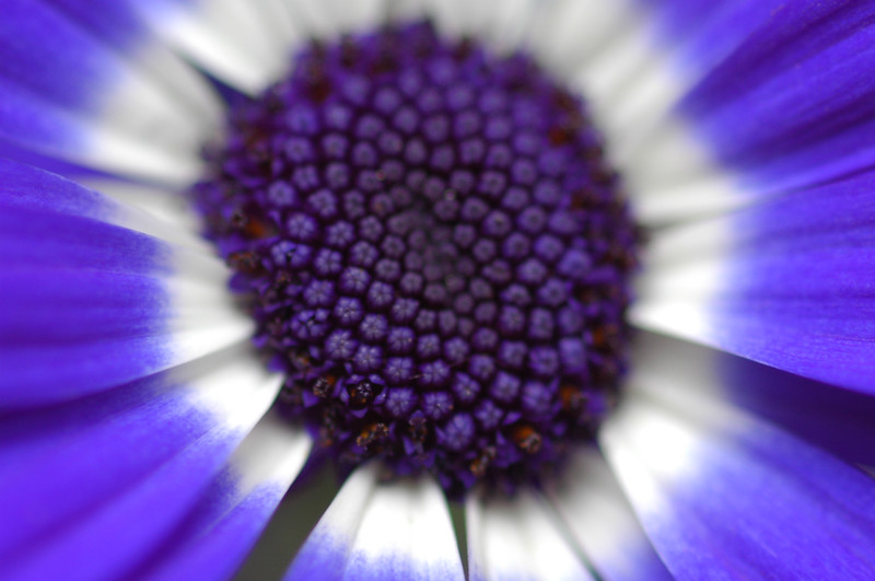 Closeup abstract of a violet flower - Nature Stock Image by Professional Nature Photographer Christina Craft