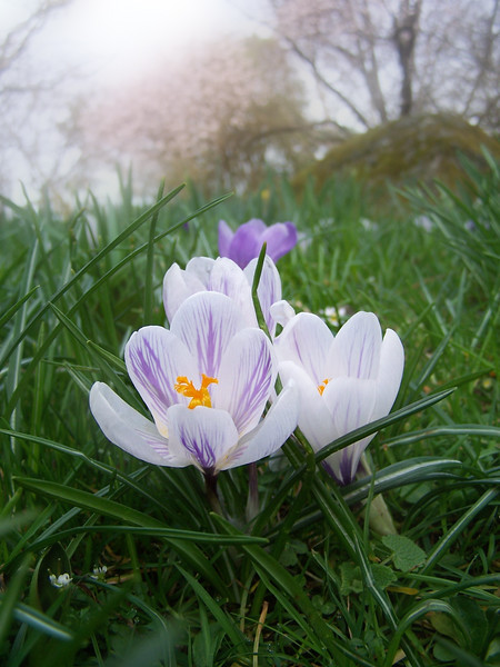 Crocus flowers in spring <br /> <br /> Professional Nature Photography by Christina Craft of the Nature Stock Photography Library