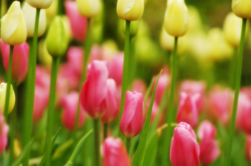 Butchart Gardens Tulips in spring - Nature Stock Image by Professional Nature Photographer Christina Craft