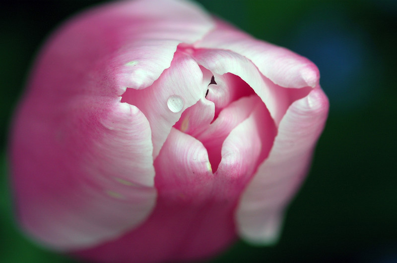 tulips - pink - Nature Stock Image by Professional Nature Photographer Christina Craft