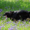 dog running in a meadow Nature Stock Photography by Professional Nature Photographer Christina Craft
