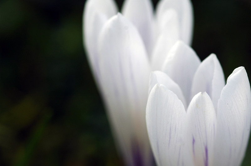 Crocus flowers in spring<br /> Professional Nature Photography by Christina Craft of the Nature Stock Photography Library