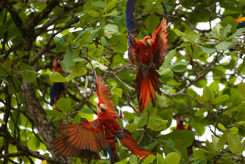 The Scarlet Macaw (Ara macao) is a large, colourful parrot.<br /> <br /> It is native to humid evergreen forests in the American tropics, from extreme eastern Mexico locally to Amazonian Peru and Brazil, in lowlands up to 500 meters (at least formerly up to 1000m). It has been widely extirpated by habitat destruction and capture for the pet trade. Formerly it ranged north to southern Tamaulipas. It can still be found on the island of Coiba.<br /> <br /> It is about 81 to 96 cm (32 to 36 inches) long, of which more than half is the pointed, graduated tail typical of macaws. Average weight is about a kilogram (2 to 2.5 pounds). The plumage is mostly scarlet, but the rump and tail-covert feathers are light blue, the greater upperwing coverts are yellow, the upper sides of the flight feathers of the wings are dark blue as are the ends of the tail feathers, and the undersides of the wing and tail flight feathers are dark red with metallic gold iridescence. There is bare white skin around the eye and from there to the bill. The upper mandible is mostly pale horn in color and the lower is black. Sexes are alike; the only difference between ages is that young birds have dark eyes, and adults have light yellow eyes.<br /> <br /> Scarlet Macaws make loud, low-pitched, throaty squawks and screams.<br /> <br /> Wild Scarlet Macaws eat mostly fruits and seeds, including large, hard seeds. A typical sighting is of a single bird or a pair flying above the forest canopy, though in some areas flocks can be seen. They may gather at clay licks.