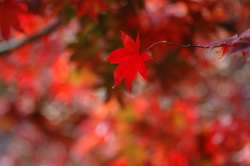 Red Maple leaf (like the one on the Canadian flag)