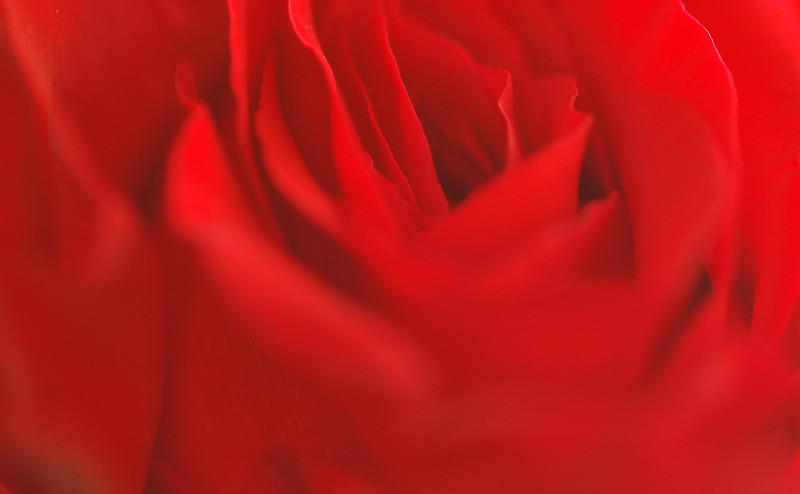 Soft focus on a red rose - suitable for background graphics<br /> Professional Nature Photography by Christina Craft of the Nature Stock Photography Library