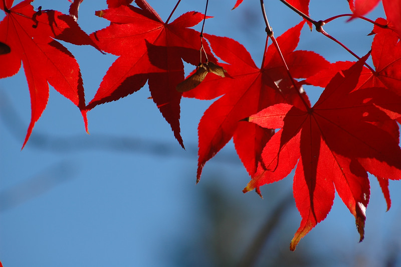 red autumn leaves - fall leaves - Nature Stock Image by Professional Nature Photographer Christina Craft