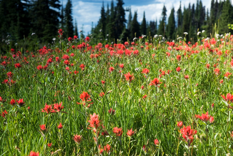 Flower photograph - alpine meadow - Stock Photo by Nature Photographer Christina Craft