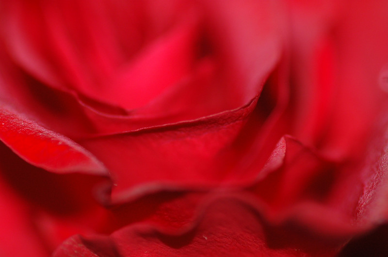 Shallow depth of field on a red rose<br /> <br /> Professional Nature Photography by Christina Craft of the Nature Stock Photography Library