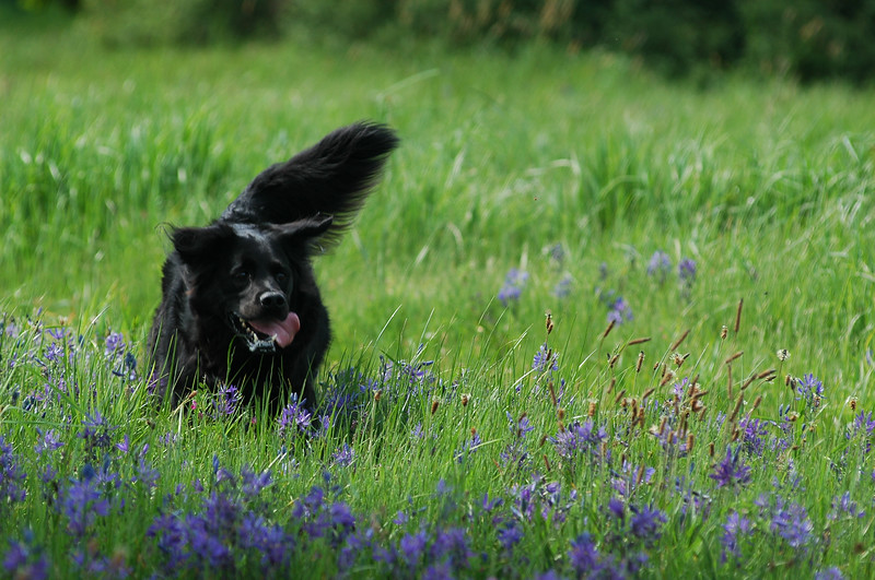 Dog running in a meadow in springtime - Photograph by Nature Photographer Christina Craft (based in Victoria B.C.)dogs,