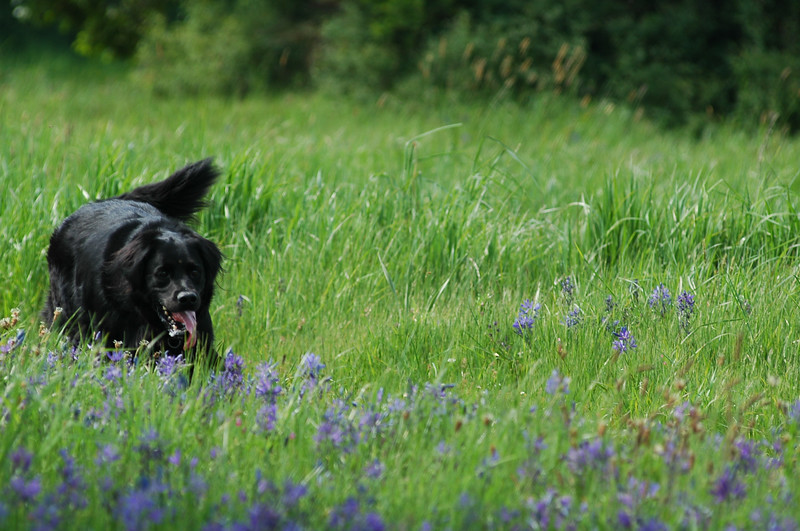 horizontal stock photo of a black dog in a flower filled meadow in spring. Photograph by Nature Stock Photographer Christina Craft (based in Victoria B.C.)dogs,