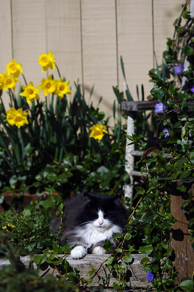 A black and white fluffy cat sits in a backyard garden on a hot spring day<br /> Professional Wildlife Photography by Christina Craft of the Nature Stock Photography Library