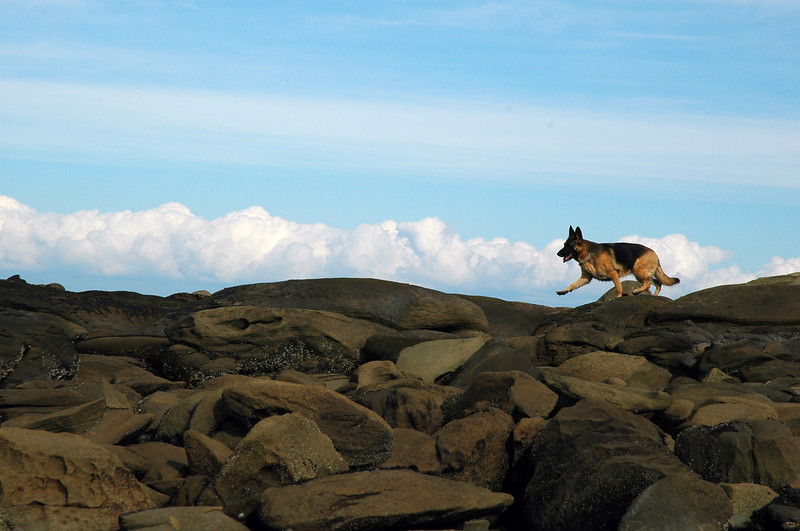 A german shepard running along some rocks<br /> Professional Nature Photography by Christina Craft of the Nature Stock Photography Library