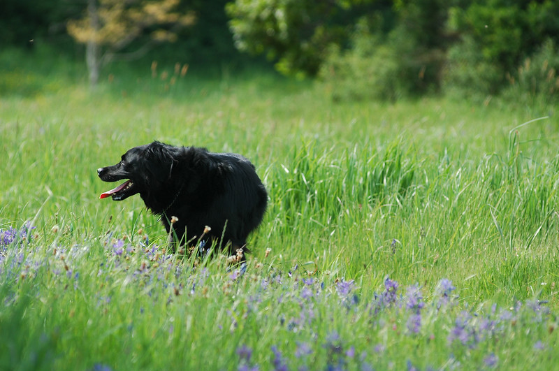 Black dog in a meadow - Photograph by Nature Photographer Christina Craft (based in Victoria B.C.)dogs,