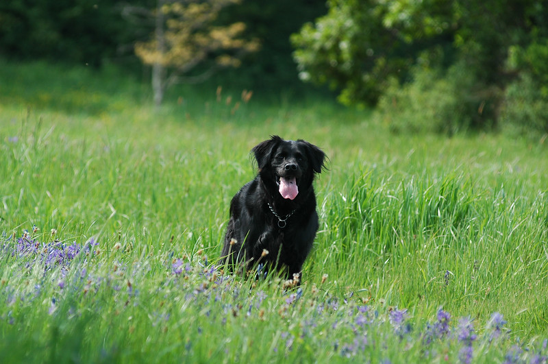 A black dog in a meadow - Photograph by Nature Photographer Christina Craft (based in Victoria B.C.)dogs,